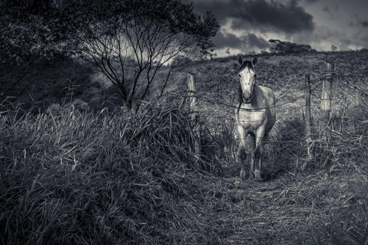 černobílá fotka koně v ohradě s ostnatým drátem